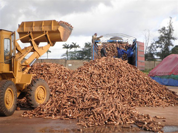 How to process cassava into starch ? cassava processing into starch technology