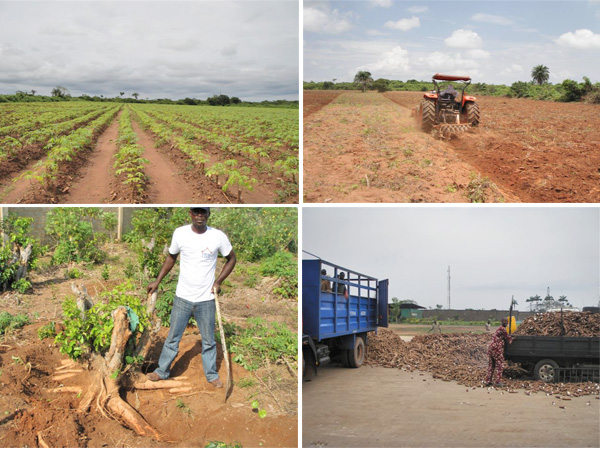 Four Main Factors Affecting Cassava Production In
