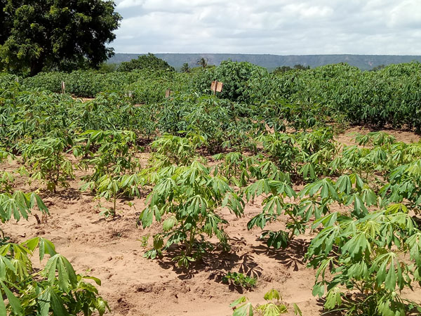 Cassava production and processing in nigeria
